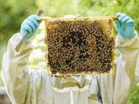 Важно за пчеларите! Подхранване на площи с царевица ще се извърши в землището на Плевен