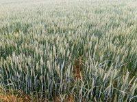 На вниманието на пчеларите! Подхранване на площи с пшеница ще се извърши в землището на Плевен