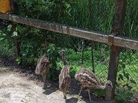 """Лайънс клуб """"Плевен Мизия"""" дари три птици Ему на зоопарка в """"Кайлъка"""""""