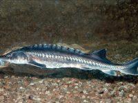 Над 7000 тримесечни моруни бяха пуснати във водите на Дунав при Белене