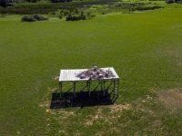 Трета гнездова колония на къдроглавия пеликан в България – на остров Персин край Белене