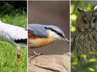 Плевенските екоинспектори реагираха на три сигнала за безпомощни птици от защитен вид