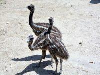 """Дарените от Лайънс клуб """"Плевен Мизия"""" птици Ему на зоопарка в """"Кайлъка"""" вече си имат имена"""