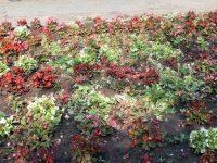 Вандали унищожиха част от цветните лехи в централния градски парк на Кнежа