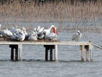 """Започна размножителният сезонза пеликаните в Природен парк """"Персина"""""""