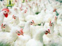 Предпазна и наблюдавана зони са определени около огнището на птичи грип в Плевенско
