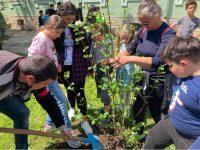 Розови храсти засадиха в училищата в община Левски в Деня на Земята