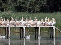 """Успешен размножителен сезон за къдроглавите пеликани в Природен парк """"Персина"""""""